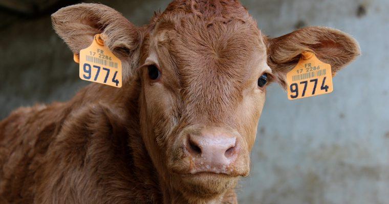 בשר פרות