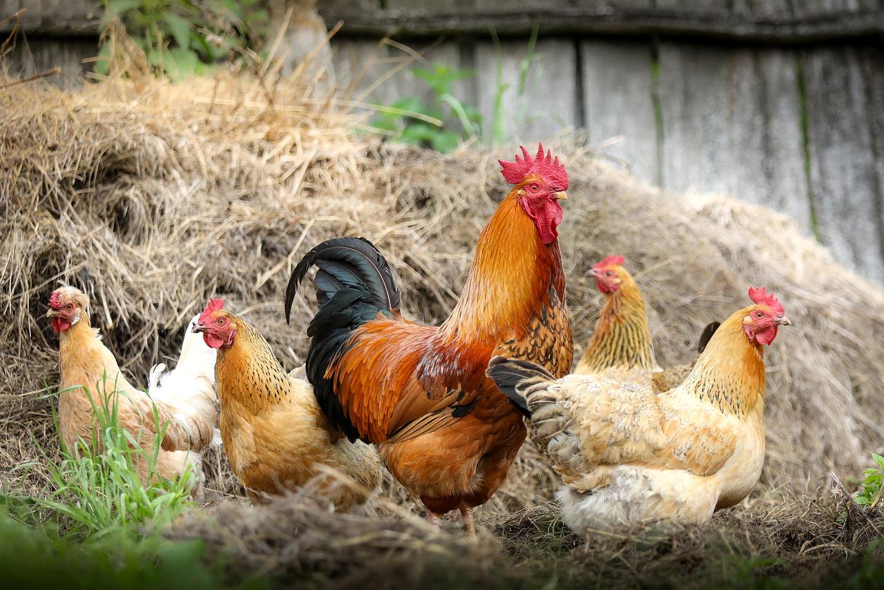 תרנגולים ותרנגולי הודו