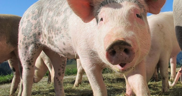 בשר חזירים