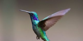 ציפורים